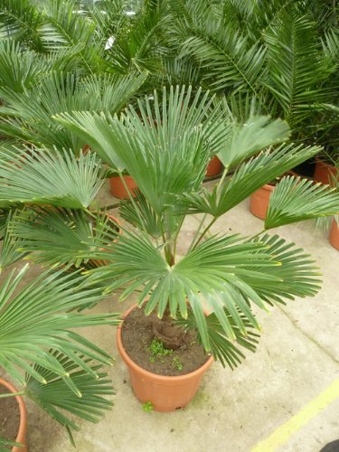 Seedeo Hanfpalme Trachycarpus wagnerianus 8 Samen
