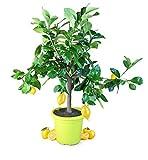 Meine Orangerie Zitronenbaum Piccolo - echte Zitruspflanze - 50 bis 70 cm - veredeltes Zitronenbäumchen im 5 Liter Topf - Citrus Limon - Lemon Tree - Fruchtreife Zitrone in Gärtnerqualität