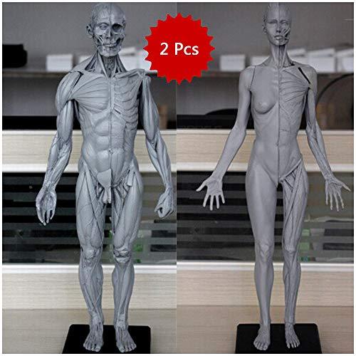 LUCKFY 23,6 Zoll weiblich & männlich Anatomie Figur - Human Modell Craft - Anatomische Schädel-Kopf-Körper-Muskel-Knochen-Resin Model für Artisten Drawing Study