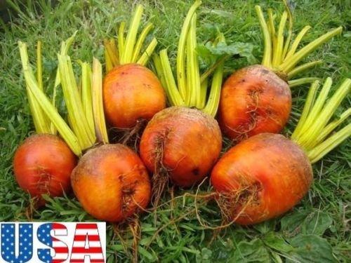 USA-VERKÄUFER Burpee Golden Beet 100-400 Samen HEIRLOOM NON GMO