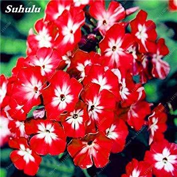 150 Pcs Nerium Graines Oleander plantes en pot semencier japonais Jardin Décoration Bloom Graine Facile à cultiver purifient l'air 2
