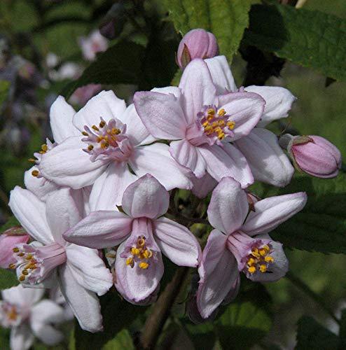Rosendeutzie 60-80cm - Deutzia hybrida