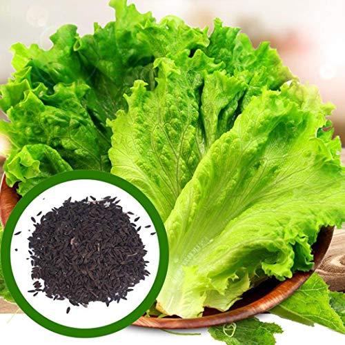 KISSHES 100 pz/borsa semi di lattuga Lactuca Sativa commestibile vegetale biologico Sementi