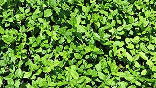 10 x Euonymus fortunei Coloratus (Purpur-Kriechspindel) 20/25 cm Bodendecker