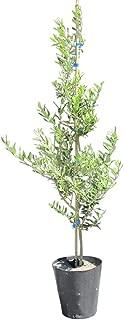 オリーブの木 苗(ミッション) 特大7号(21cmポット) 樹高1M前後