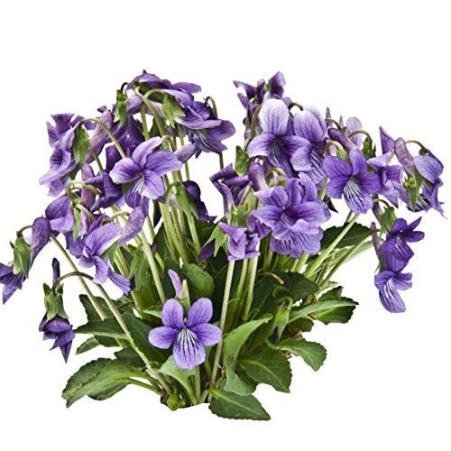 XINDUO Plantes de Jardin Décoration,Violet chrysanthème Couvre-Sol Jardin Fleur espèces-500 Capsules,vivaces graines Fleurs ornementales