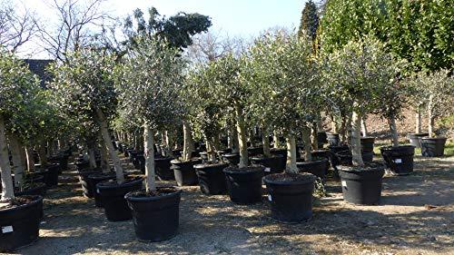 Olivenbaum Olive '20 Jahre' 140-160 cm, beste Qualität, winterhart, Olea Europaea