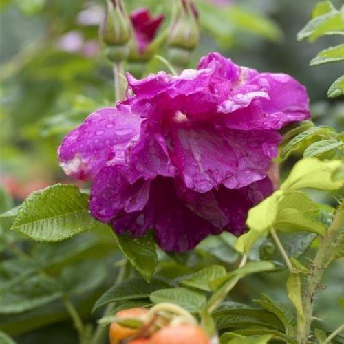 Apfelrose Rosa rugosa- ca. 60cm im 3 L Topf