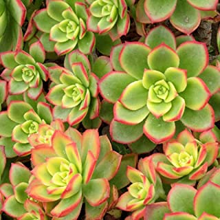Aeonium Kiwi Succulent Plants Bell Shaped Flowers (2 inch)