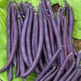 Bean Purple King Seeds Patio Lawn Garden Plant 50 PCS