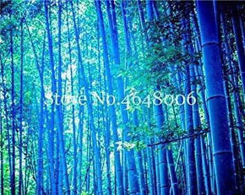 ! Große Förderung Chinese Frisch Rare Blue Bamboo Bonsai, perfekte Zier DIY Hausgarten Pflanze, Essbare Bambussprossen - 50 Stück: 1
