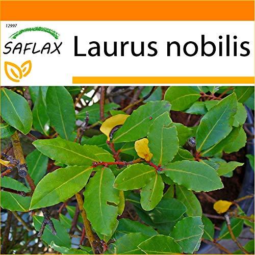 SAFLAX - Jardin dans le sac - Laurier vrai - 6 graines - Laurus nobilis