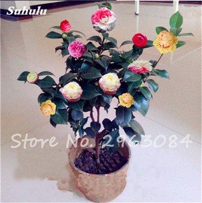 5 Stück seltene Regenbogen-Kamelie-Blumen-Samen, DIY Topfpflanzen, Licht Fragrant Indoor Blume, Indoor Bonsai Pflanze Blumen-Samen 1