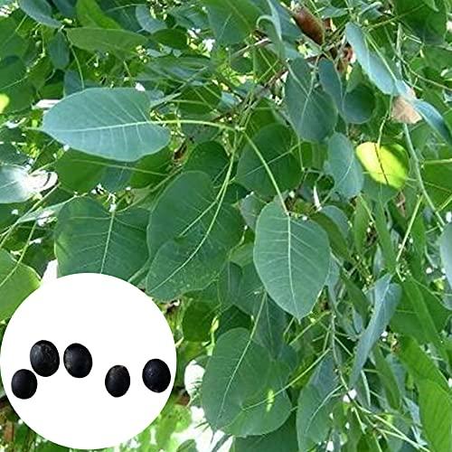 5 Unids/Bolsa Bodhi Semillas De árboles Luz De Hoja Perenne Entrelazada Raíz Bonsai Jardín Ficus Bodhi Semillas De árboles Plantación Semilla Bodhi