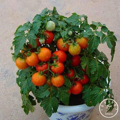 HONIC Red Pearl Tomato Bonsai, s und Gemüse Topf Mini Tomatenpflanzen Balkon für Hausgarten-100 PC/Los, ZJ441: 18
