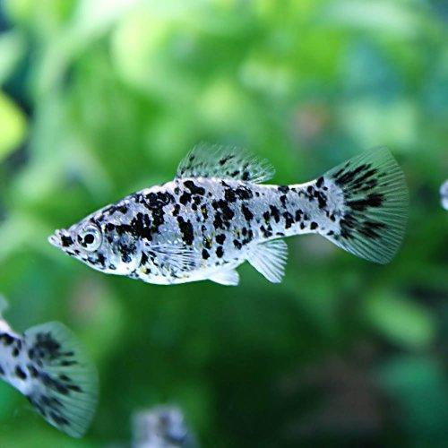(熱帯魚)ダルメシアンモーリー(約4cm)<4匹>[生体]