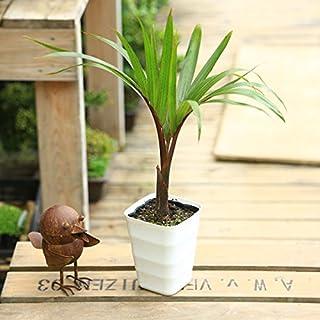 観葉植物・希少:トックリヤシ(徳利椰子)*【S】受皿付き