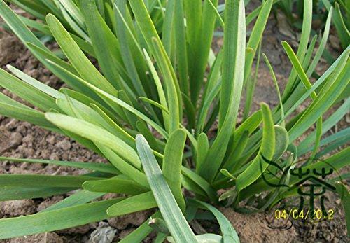 Mint Plant Légume vert Graines Balcon Potted Peppermint Aromatique plantes Environ 100 pièces / lot