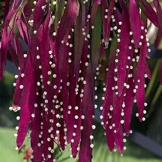 Red Mistletoe Cactus Seeds (Rhipsalis ramulosa) 20+Seeds