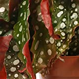 Zoom IMG-2 begonia maculata dalle foglie a
