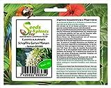 Stk - 10x Eucomis autumnalis Schopflilie Garten Pflanzen - Samen B1446 - Seeds Plants Shop Samenbank Pfullingen Patrik Ipsa