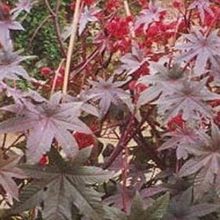Outsidepride Impala Ricinus Communis Castor Bean Plant Seed - 50 Seeds