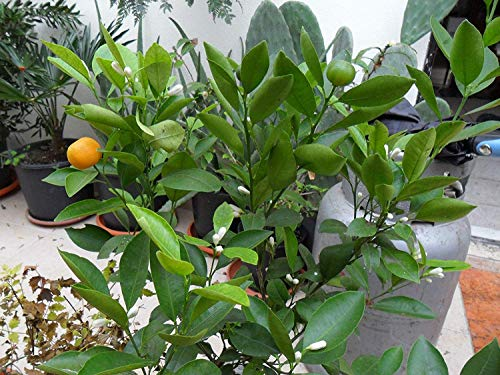 Potseed Keimfutter: Rare Seeds * Zwerg immertragende Calamondin - Citrus mitis -Panama Orange- 3 Seeds