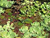 10 Muschelblumen (ca. 5cm) für den Gartenteich
