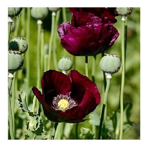 Poppy 'Lauren's Grape Papaver somniferum 250 Samen
