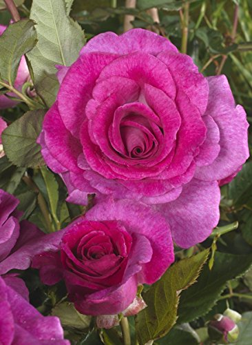 \'Climbing Violette Parfumée\' (R), Kletterrose im 4-Liter-Container