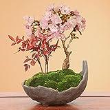 盆栽:桜・南天寄せ植え(くらま鉢)