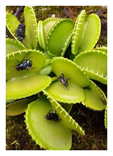 "Venus-Fliegenfalle"" Harmony"" / 10 Samen/inkl.Karnivorenerde (Dionaea muscipula)"