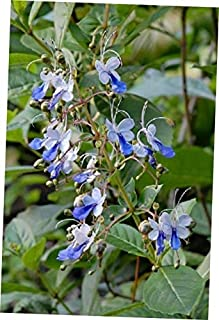 DAG 1 Bare Root Starter Plant Clerodendrum Ugandense Blue Butterfly Bush - RK410
