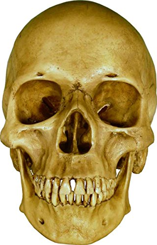 Life Size Model Human Skull Replica Aged Earth-Brown Relic - Life Size Reproduction by Nose Desserts...