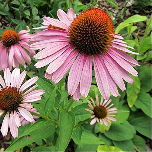 6 x Echinacea Purpurea 'Magnus' - Rudbeckia pourpre 'Magnus' - Godet 9x9cm