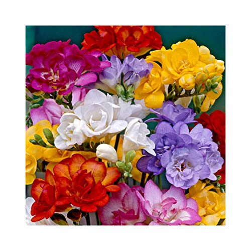 25 Freesia Mixed Double Scented Bulbs Flower Guarantee, Professionally Grown by Plug Plants Express Limited