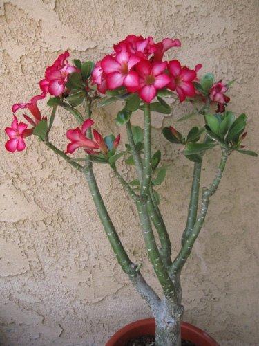 Large (Over 20') Live Adenium Desert Rose House Plant Bonsai