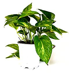 Best Air Cleaning Houseplants That Are Impossible To Kill Devils Ivy
