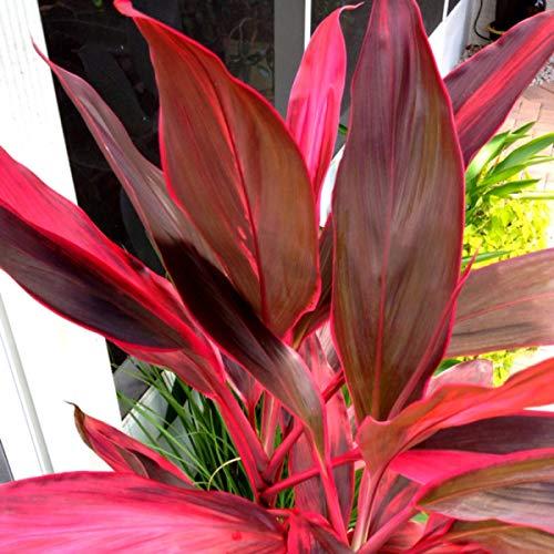 Hawaiian Ti Plant Logs Live Tropcial Ti Plants Red Leaves - 1 Pack 2 logs -...