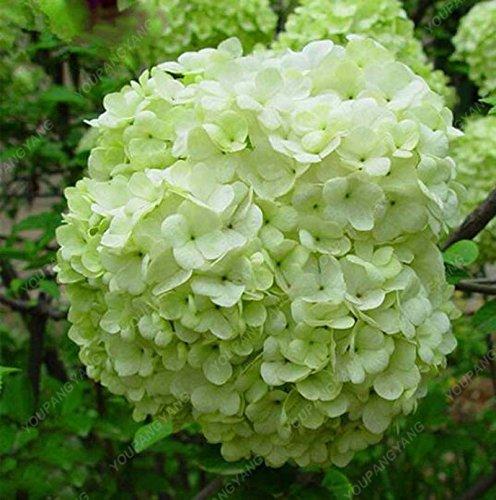 Promotion!!! 20 Pcs/Sac Hortensia blanc Graines de fleurs, couleur pure, d'une durée, magnifique balcon ou jardin de fleurs des plantes