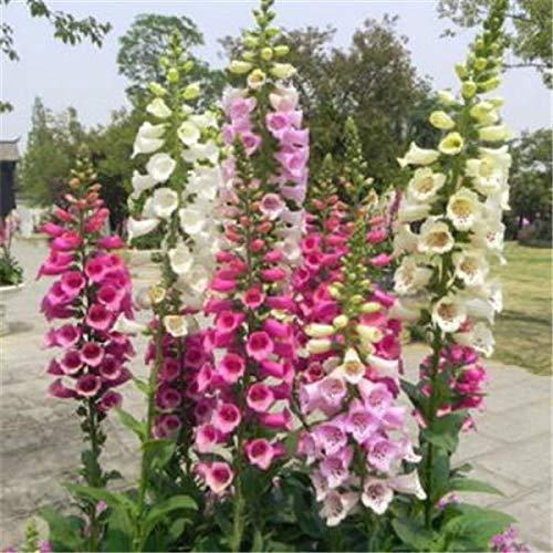 100pcs 100% T Foxglove Common foxglove flower Digitalis purpurea bonsai plant decoration home garden plants : 6