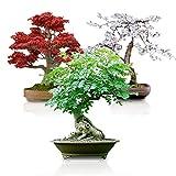 Bonsai Seed Bundle #3 - Japanese Red Maple,...