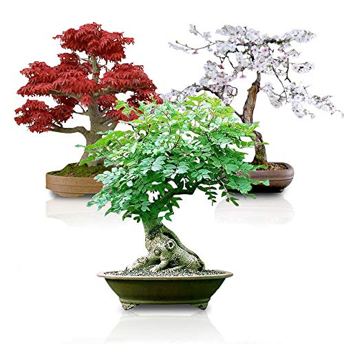 Bonsai Seed Bundle #3 - Japanese Red Maple, Black Cherry, Tree of Life Seeds Bundle Ships from Iowa, USA