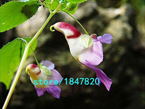 Vente Hot Colorful rares graines comme Parrot Orchid haut grade Bonsai Floraison Plantes rayonnement Absorption fleurs Graines 100PCS