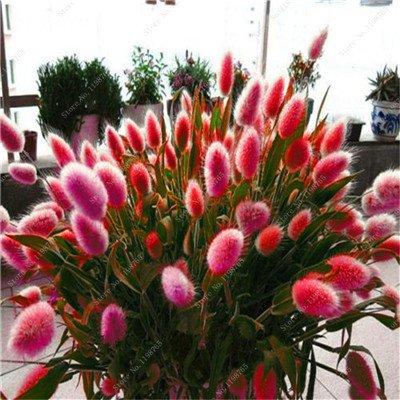 Belles 100 Pcs herbe queue de lapin d'ornement Graines une variété de mélange de couleurs de l'herbe Diy Plante en pot pour le jardin d'ornement 10