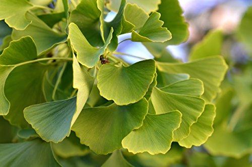 Ginkgo Baum - Ginkgo biloba - Älteste Baumart der Welt - verschiedene Größen (60-80cm - 3 Ltr.)