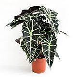 Alocasia polly 35 cm Pfeilblatt Elefantenohr Tropenwurz