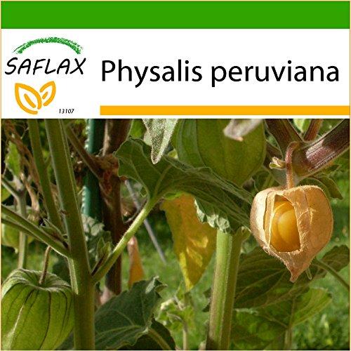 SAFLAX - Coqueret du Pérou - 100 graines - Avec substrat - Physalis peruviana