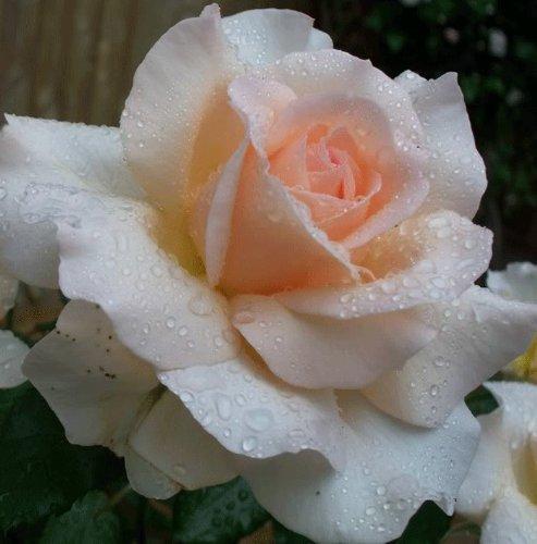 gardenexpert'Rosa Bush Rose Floribunda Margaret Merril' Plant