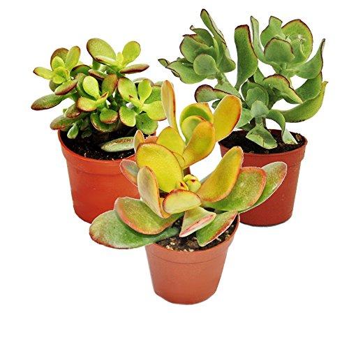 Geldbaum-Set, 3 verschiedene Crassula-Arten im 5,5cm Topf
